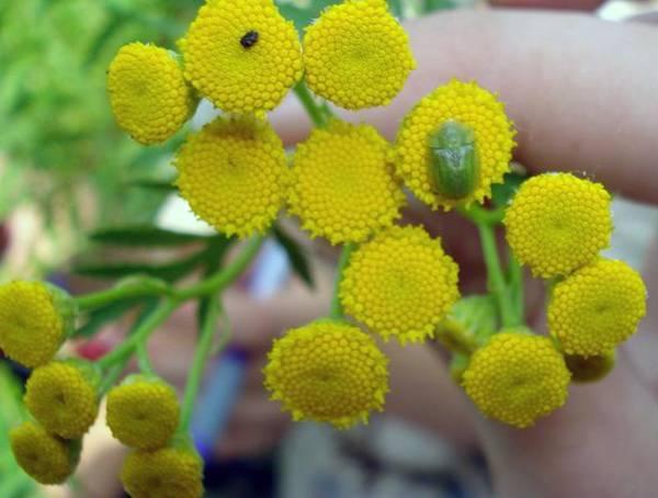 цветы для лечения фимоза