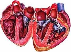 сердце при алкогольной кардиомиапатии