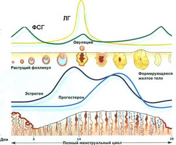 Схема менструального цикла при анедому гипофиза